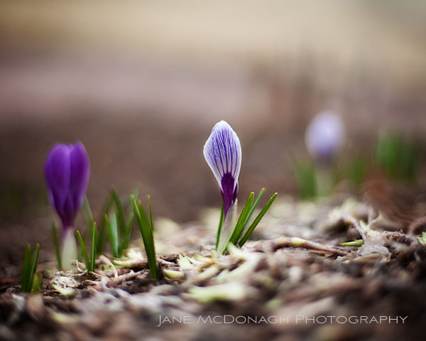 crocus sprouting